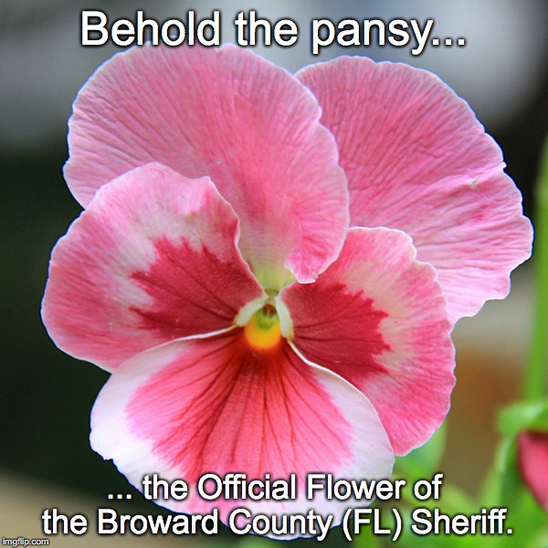 Pink Pansy | Behold the pansy... ... the Official Flower of the Broward County (FL) Sheriff. | image tagged in broward co sheriff | made w/ Imgflip meme maker