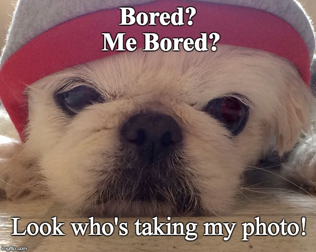 Bored Rosie Dog | Bored? Me Bored? Look who's taking my photo! | image tagged in bored rosie dog,dog,bored,cute dog,rosie dog,hoodie dog | made w/ Imgflip meme maker
