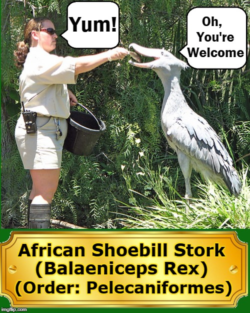 The Shoebill Evolved from Dinosaurs | (Order: Pelecaniformes) African Shoebill Stork  (Balaeniceps Rex) Yum! Oh,  You're Welcome | image tagged in african shoebill stork,vince vance,tropical east africa,sudan to zambia,lives in swamps,solitary | made w/ Imgflip meme maker