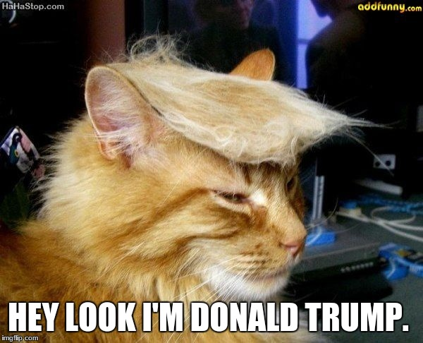 donald trump cat | HEY LOOK I'M DONALD TRUMP. | image tagged in donald trump cat | made w/ Imgflip meme maker