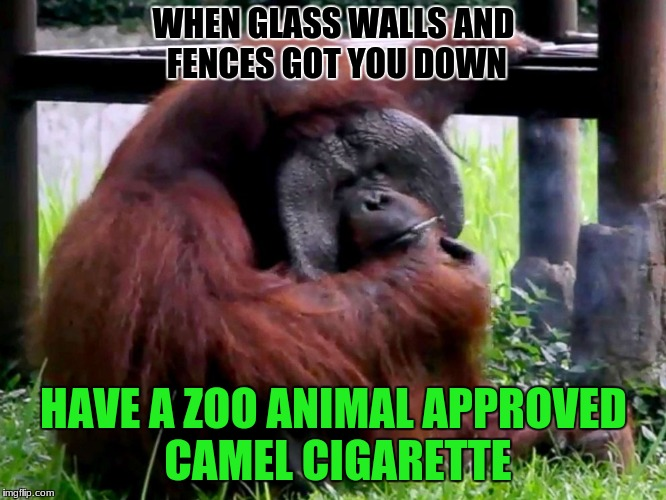 Monkey see, monkey do. Don't do drugs kids | WHEN GLASS WALLS AND FENCES GOT YOU DOWN HAVE A ZOO ANIMAL APPROVED CAMEL CIGARETTE | image tagged in orangutan,memes,funny,zoo,smoking | made w/ Imgflip meme maker