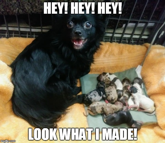 HEY! HEY! HEY! LOOK WHAT I MADE! | image tagged in dog,dogs,puppies,puppy,cute,chiwawa | made w/ Imgflip meme maker