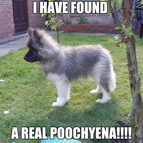Pokemon Exist | I HAVE FOUND A REAL POOCHYENA!!!! | image tagged in real poochyena,memes,pokemon,dog,omg,real life | made w/ Imgflip meme maker