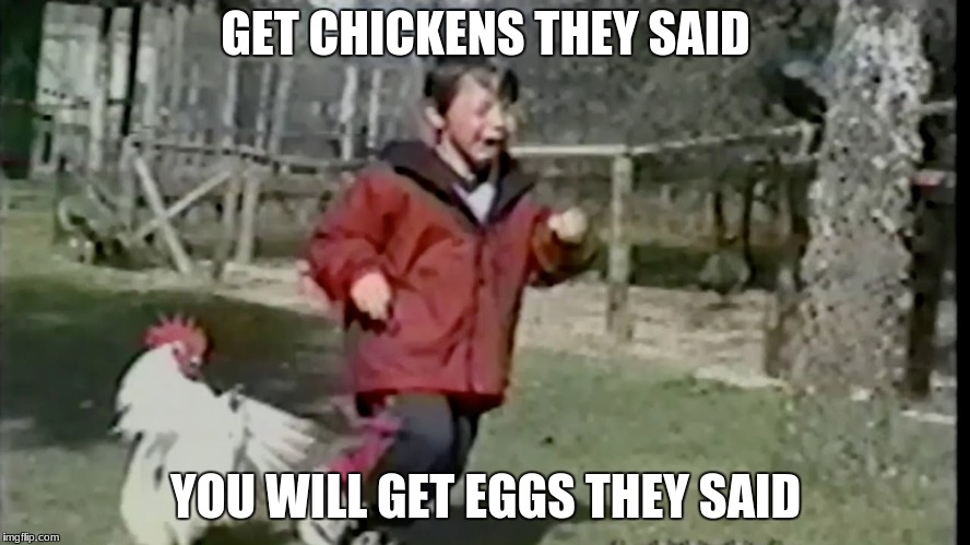 GET CHICKENS THEY SAID YOU WILL GET EGGS THEY SAID | image tagged in chicken,kids,rooster | made w/ Imgflip meme maker