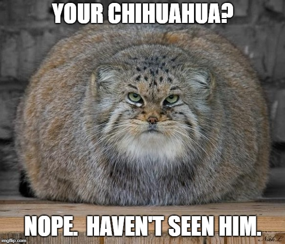 Has anyone seen fi fi? | YOUR CHIHUAHUA? NOPE.  HAVEN'T SEEN HIM. | image tagged in fat cat,grumpy cat | made w/ Imgflip meme maker