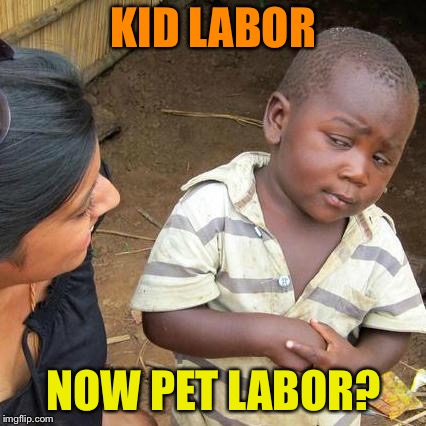 Third World Skeptical Kid Meme | KID LABOR NOW PET LABOR? | image tagged in memes,third world skeptical kid | made w/ Imgflip meme maker
