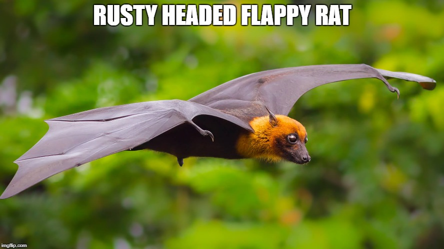 Rename animals | RUSTY HEADED FLAPPY RAT | image tagged in bat | made w/ Imgflip meme maker