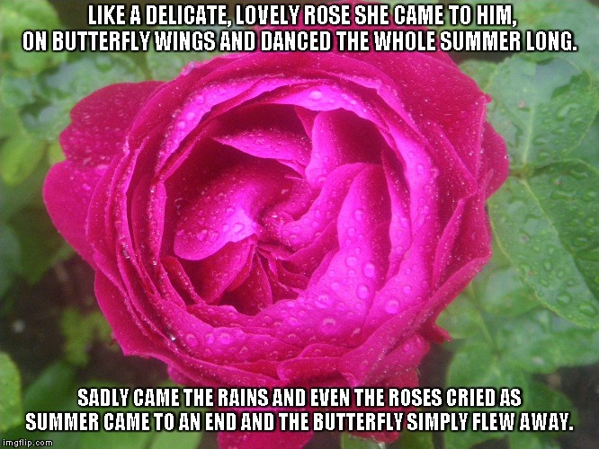 The Roses Cried | LIKE A DELICATE, LOVELY ROSE SHE CAME TO HIM, ON BUTTERFLY WINGS AND DANCED THE WHOLE SUMMER LONG. SADLY CAME THE RAINS AND EVEN THE ROSES C | image tagged in roses,butterflies,love,summer,rain | made w/ Imgflip meme maker