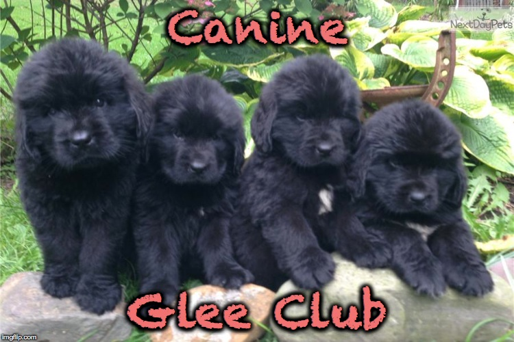 More Of The Irresistable :-) | Canine Glee Club | image tagged in newfie puppies | made w/ Imgflip meme maker