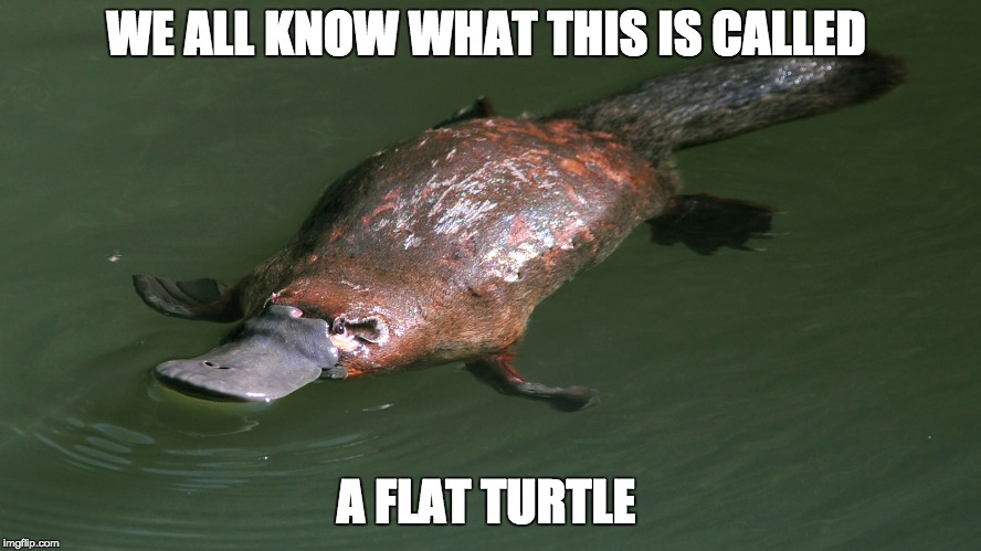 Da Flat Turtle | WE ALL KNOW WHAT THIS IS CALLED A FLAT TURTLE | image tagged in flat turtle,platypus,turtle,squish | made w/ Imgflip meme maker
