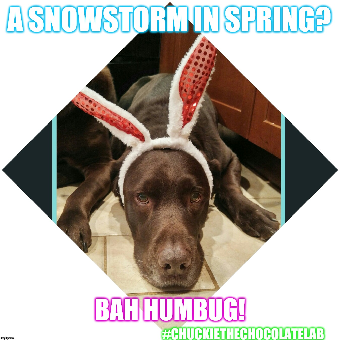 A snowstorm in spring? Bah humbug!  |  A SNOWSTORM IN SPRING? BAH HUMBUG! #CHUCKIETHECHOCOLATELAB | image tagged in chuckie the chocolate lab teamchuckie,snowstorm,spring,bah humbug,dogs,memes | made w/ Imgflip meme maker