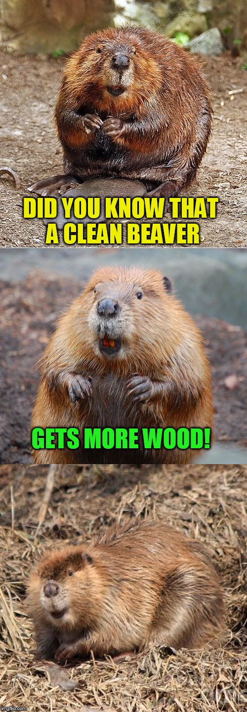 DID YOU KNOW THAT A CLEAN BEAVER GETS MORE WOOD! | made w/ Imgflip meme maker