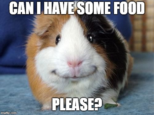 CAN I HAVE SOME FOOD; PLEASE? | image tagged in grinny pig,guinea pig,memes | made w/ Imgflip meme maker
