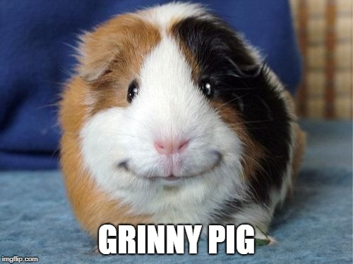GRINNY PIG | image tagged in grinny pig,guinea pig | made w/ Imgflip meme maker