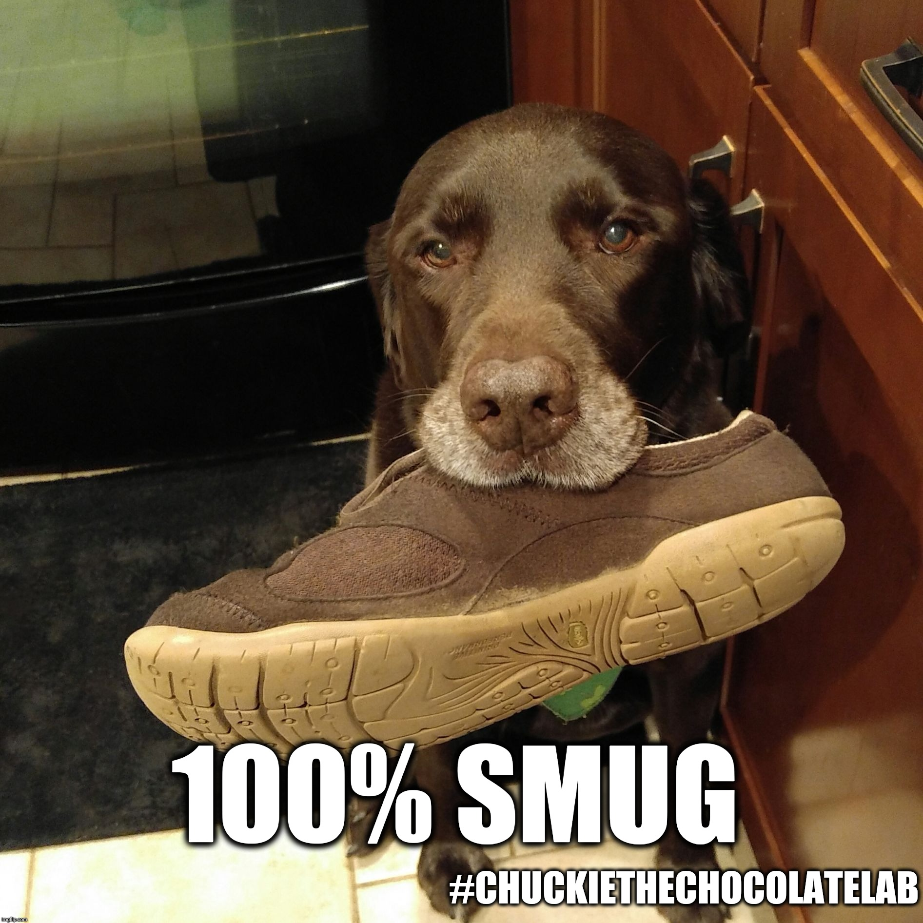 100% smug | 100% SMUG #CHUCKIETHECHOCOLATELAB | image tagged in chuckie the chocolate lab teamchuckie,100 smug,smug,dogs,funny,memes | made w/ Imgflip meme maker
