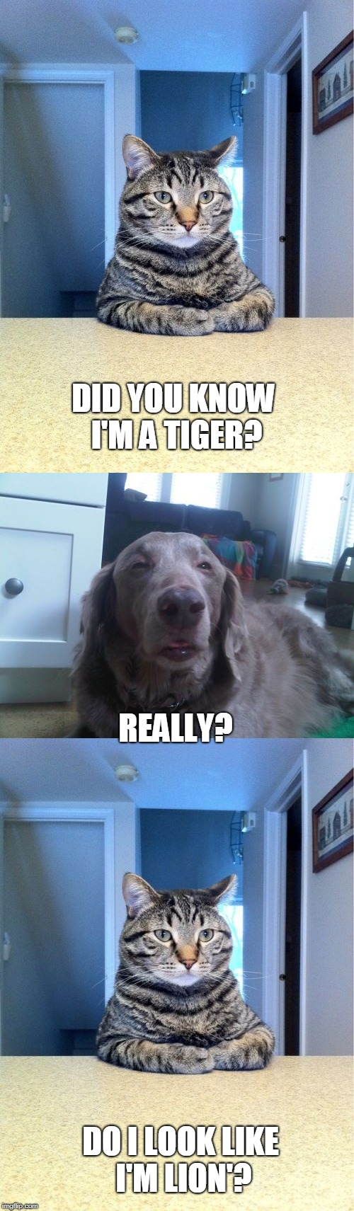 DID YOU KNOW I'M A TIGER? REALLY? DO I LOOK LIKE I'M LION'? | image tagged in memes,take a seat cat,high dog,puns | made w/ Imgflip meme maker