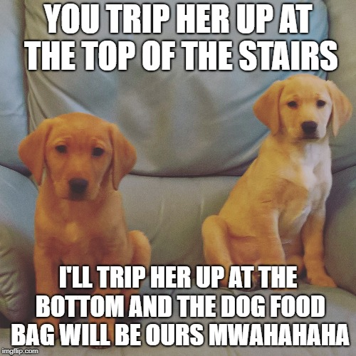 YOU TRIP HER UP AT THE TOP OF THE STAIRS I'LL TRIP HER UP AT THE BOTTOM AND THE DOG FOOD BAG WILL BE OURS MWAHAHAHA | image tagged in puppies,labrador,twins | made w/ Imgflip meme maker