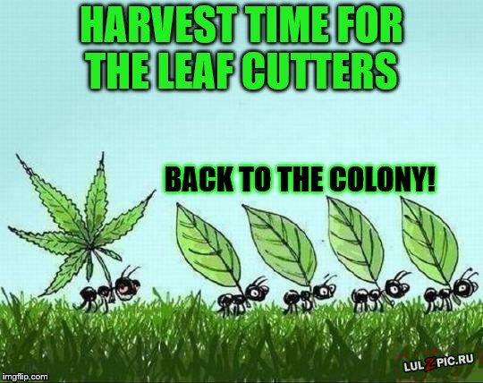 HARVEST TIME FOR THE LEAF CUTTERS BACK TO THE COLONY! | made w/ Imgflip meme maker