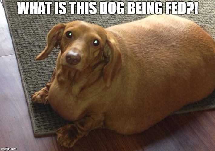 Fatass Dachshund  | WHAT IS THIS DOG BEING FED?! | image tagged in memes,dogs,funny,doctordoomsday180,dachshund,fatass | made w/ Imgflip meme maker