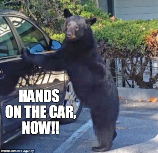 Finally, A Black Who Follows Cop's Orders | HANDS ON THE CAR, NOW!! | image tagged in funny,bear,police | made w/ Imgflip meme maker