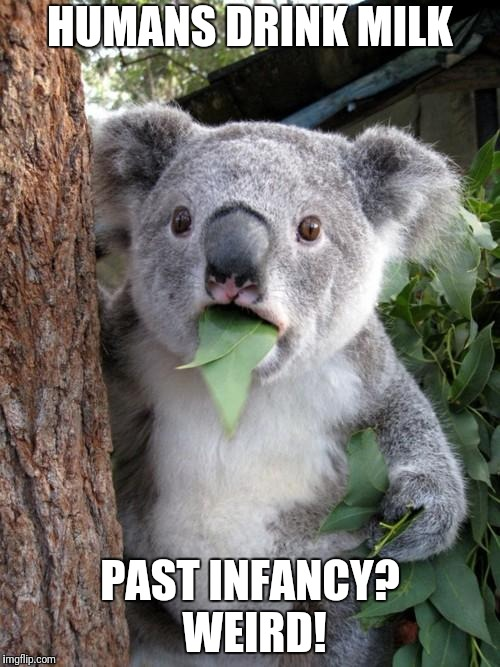 Surprised Koala Meme | HUMANS DRINK MILK PAST INFANCY? WEIRD! | image tagged in memes,surprised koala | made w/ Imgflip meme maker
