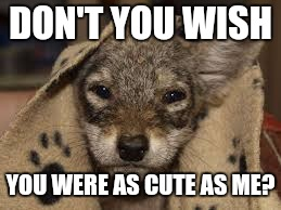 DON'T YOU WISH YOU WERE AS CUTE AS ME? | image tagged in little coyote in a blanket | made w/ Imgflip meme maker