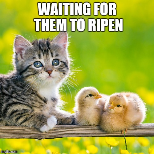 WAITING FOR THEM TO RIPEN | made w/ Imgflip meme maker