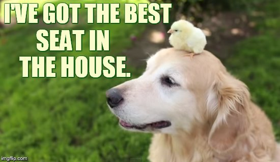 Chicken Week April 2-8 (a JBmemegeek and giveuahint event) | I'VE GOT THE BEST SEAT IN THE HOUSE. | image tagged in memes,chicken week,chick,dog,head,best seat | made w/ Imgflip meme maker