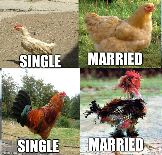 Chicken Week, April 2-8, A JBmemegeek & giveuahint Event! | SINGLE MARRIED MARRIED SINGLE | image tagged in ckickens are so gay | made w/ Imgflip meme maker