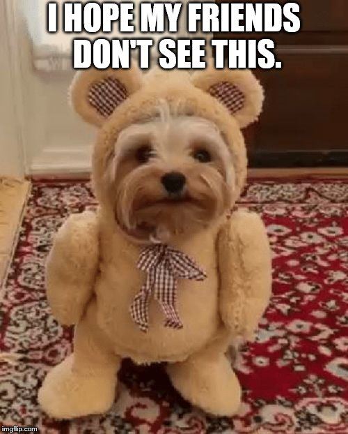 Teddy Bear Yorkie | I HOPE MY FRIENDS DON'T SEE THIS. | image tagged in teddy bear yorkie | made w/ Imgflip meme maker