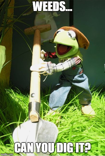 Kermit weeds the garden... | WEEDS... CAN YOU DIG IT? | image tagged in gardening,wallowa county vegetation,noxious weeds | made w/ Imgflip meme maker
