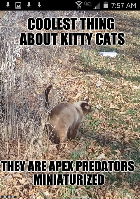 Kittys | COOLEST THING ABOUT KITTY CATS THEY ARE APEX PREDATORS MINIATURIZED | image tagged in cats | made w/ Imgflip meme maker