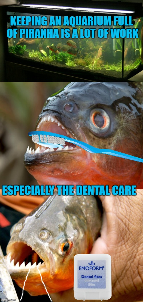 Piranha Upkeep | KEEPING AN AQUARIUM FULL OF PIRANHA IS A LOT OF WORK ESPECIALLY THE DENTAL CARE | image tagged in funny memes,aquarium,piranha,dental care,toothbrush,fish | made w/ Imgflip meme maker