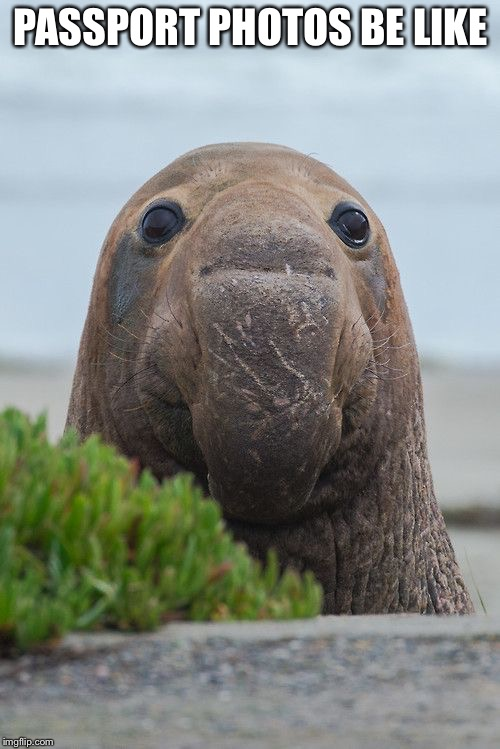 PASSPORT PHOTOS BE LIKE | image tagged in elephant seal,memes,funny picture,passport | made w/ Imgflip meme maker