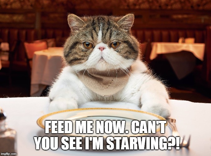 FEED ME NOW. CAN'T YOU SEE I'M STARVING?! | image tagged in hungry cat | made w/ Imgflip meme maker