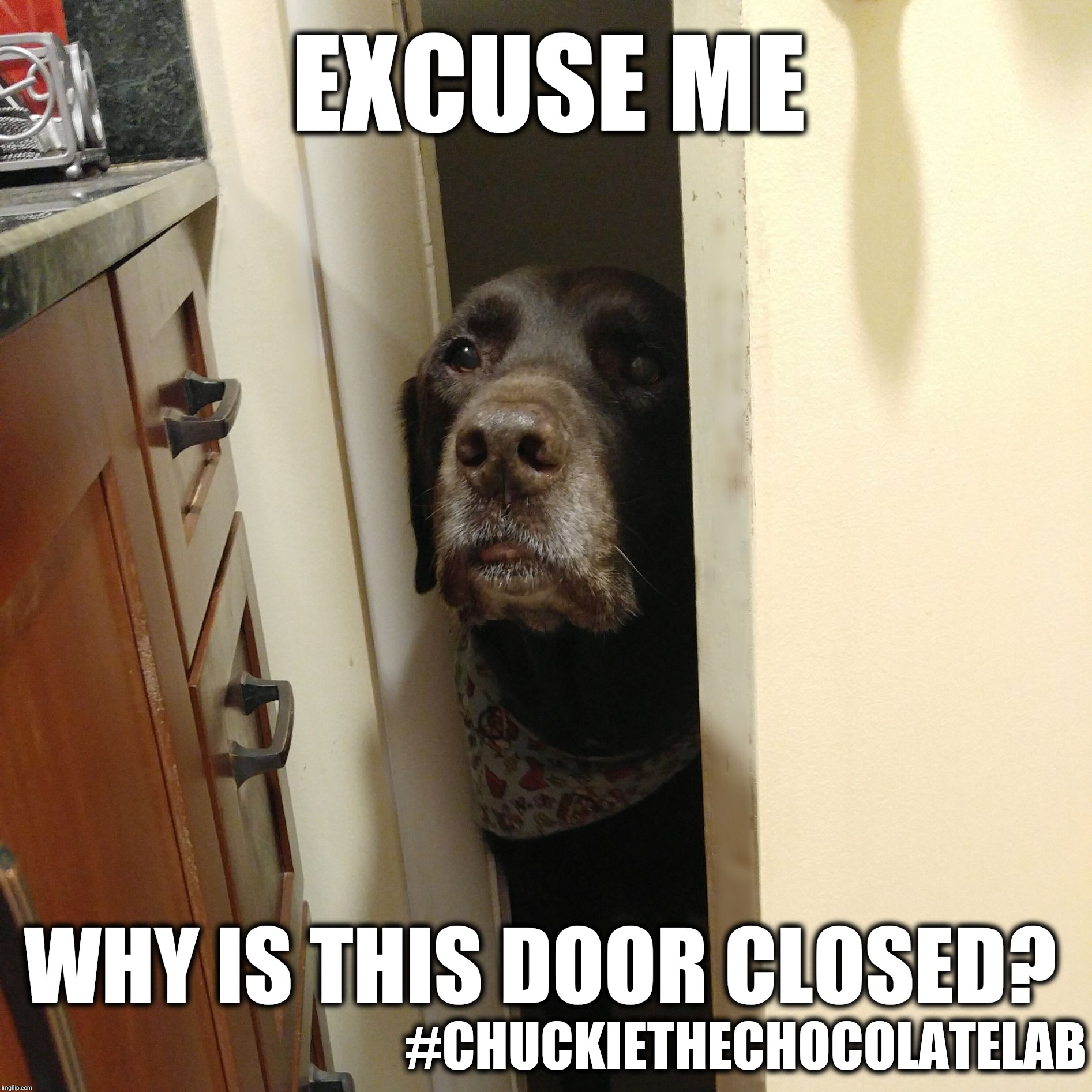 No privacy  | EXCUSE ME #CHUCKIETHECHOCOLATELAB WHY IS THIS DOOR CLOSED? | image tagged in chuckie the chocolate lab teamchuckie,excuse me,no privacy,dogs,funny,memes | made w/ Imgflip meme maker
