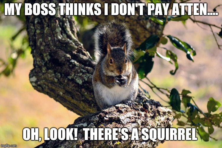 MY BOSS THINKS I DON'T PAY ATTEN.... OH, LOOK!  THERE'S A SQUIRREL | image tagged in oh look a squirrel | made w/ Imgflip meme maker