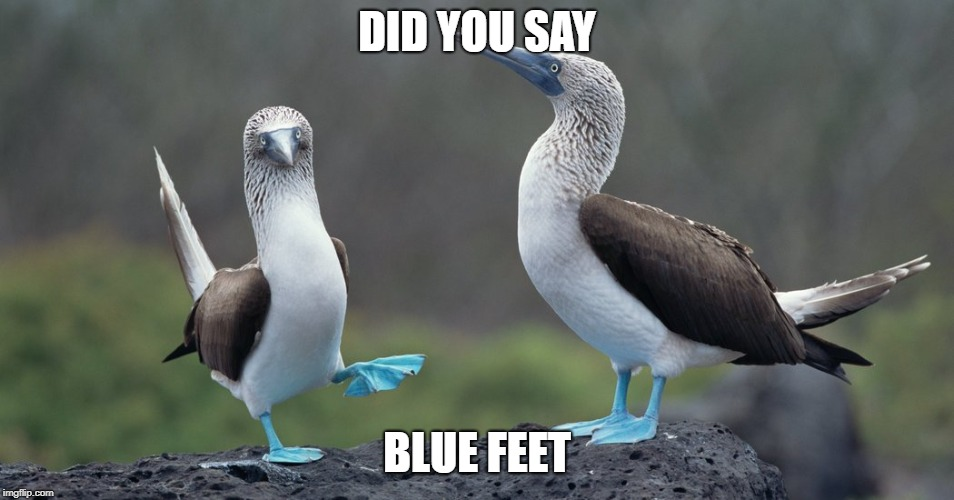 boobies | DID YOU SAY BLUE FEET | image tagged in boobies | made w/ Imgflip meme maker