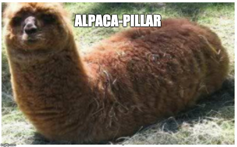 ALPACA-PILLAR | image tagged in funny animals | made w/ Imgflip meme maker