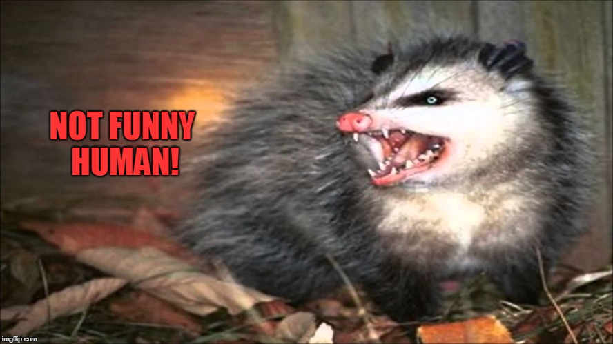 opossum | NOT FUNNY HUMAN! | image tagged in opossum | made w/ Imgflip meme maker