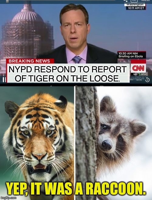 Seems legit. | NYPD RESPOND TO REPORT OF TIGER ON THE LOOSE. YEP, IT WAS A RACCOON. | image tagged in breaking news,tiger,raccoon,memes,funny | made w/ Imgflip meme maker