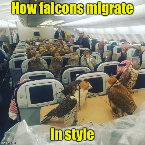The Arabia Falconry Team on their way to their next away competition? |  How falcons migrate; In style | image tagged in memes,mgrate,airlines,passenger,falcons | made w/ Imgflip meme maker
