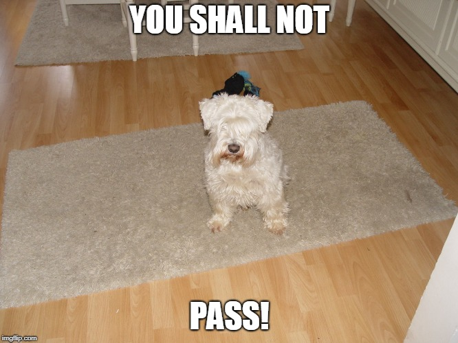 The Miniature Schnauzer Says You Shall Not... Guess What?  | YOU SHALL NOT PASS! | image tagged in animal,cute,funny,notpass | made w/ Imgflip meme maker