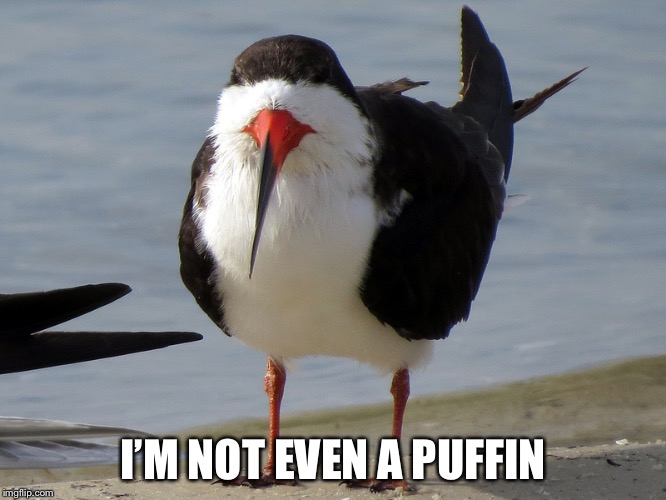 Even Less Popular Opinion Bird | I'M NOT EVEN A PUFFIN | image tagged in even less popular opinion bird | made w/ Imgflip meme maker