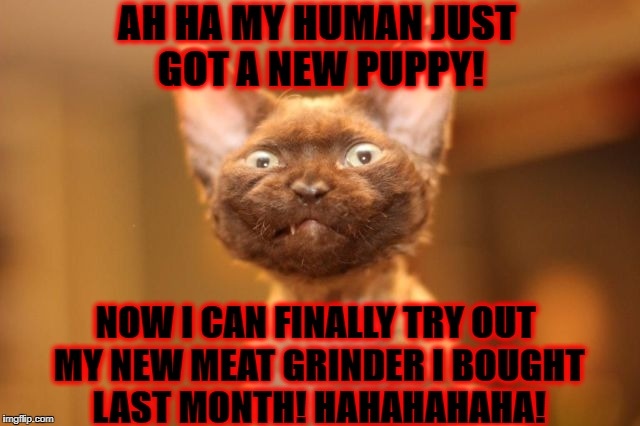 AH HA MY HUMAN JUST GOT A NEW PUPPY! NOW I CAN FINALLY TRY OUT MY NEW MEAT GRINDER I BOUGHT LAST MONTH! HAHAHAHAHA! | image tagged in psycho kitten | made w/ Imgflip meme maker