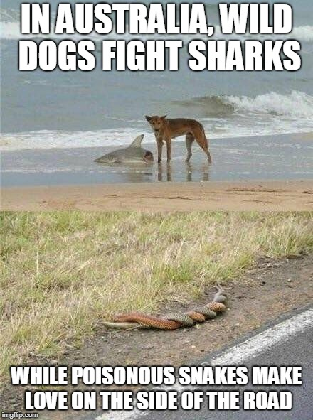 Meanwhile, In Australia.... | IN AUSTRALIA, WILD DOGS FIGHT SHARKS WHILE POISONOUS SNAKES MAKE LOVE ON THE SIDE OF THE ROAD | image tagged in memes,dogs,sharks,snakes,australia,meanwhile in australia | made w/ Imgflip meme maker