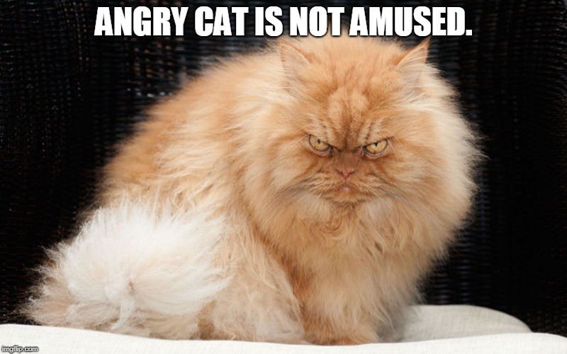 mean cat | ANGRY CAT IS NOT AMUSED. | image tagged in mean cat | made w/ Imgflip meme maker