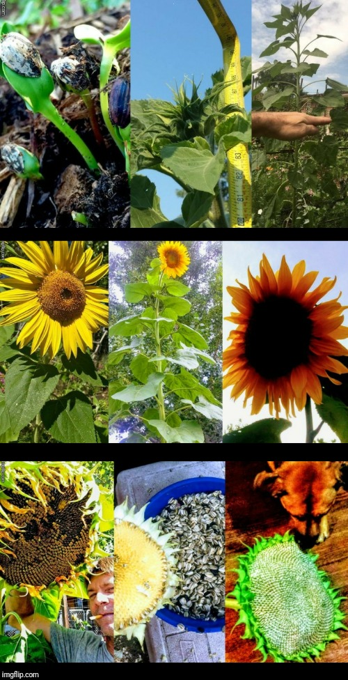 I GROW GIANT SUNFLOWERS! | . | image tagged in gardening,garden,sunflower,justjeff | made w/ Imgflip meme maker