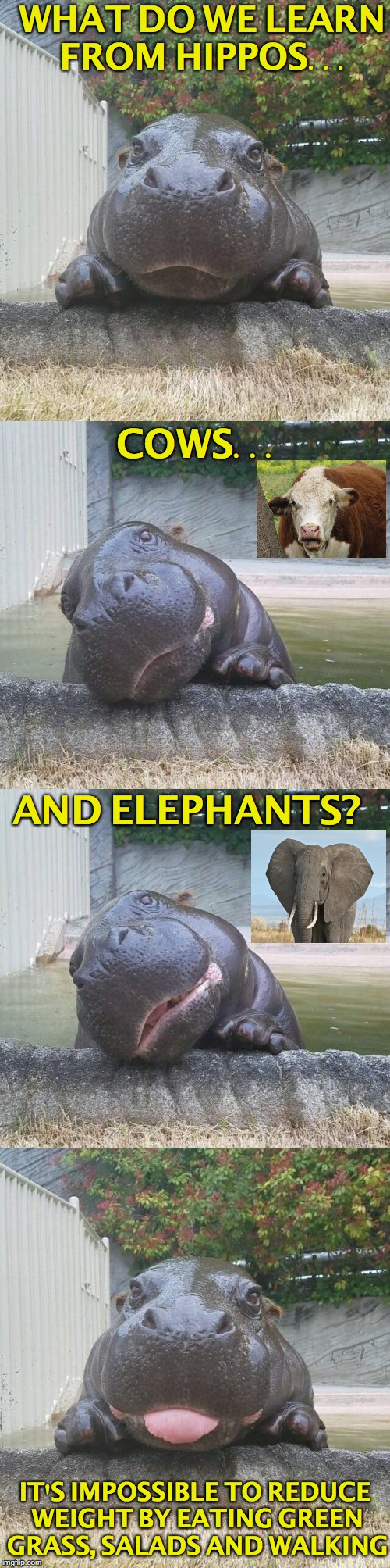 WHAT DO WE LEARN FROM HIPPOS... COWS... AND ELEPHANTS? IT'S IMPOSSIBLE TO REDUCE WEIGHT BY EATING GREEN GRASS, SALADS AND WALKING | image tagged in hippopotamus,vegetarian,vegan,weight loss | made w/ Imgflip meme maker