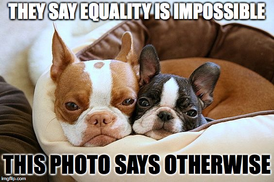 Boston Terriers | THEY SAY EQUALITY IS IMPOSSIBLE THIS PHOTO SAYS OTHERWISE | image tagged in memes,funny,dogs,boston terrier,cute,puppies | made w/ Imgflip meme maker